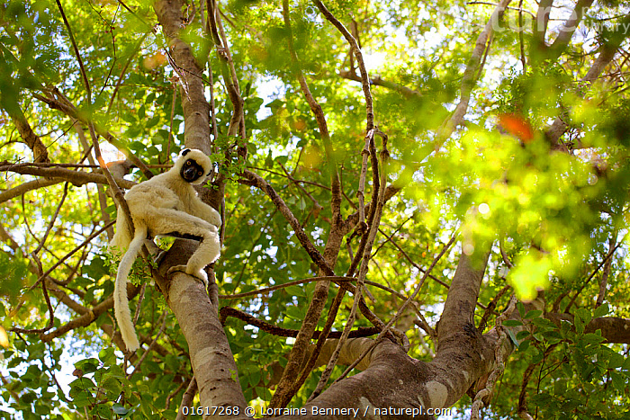 Van der Decken's sifaka (Propithecus deckenii) looking down at camera whilst climbing tree. Tsingy de Bemaraha National Park, Madagascar., Animal,Wildlife,Vertebrate,Mammal,Sifaka,Decken&#39,s Sifaka,Animalia,Animal,Wildlife,Vertebrate,Mammalia,Mammal,Primate,Primates,Indriidae,Prosimians,Propithecus,Sifaka,Propithecus deckenii,Decken&#39,s Sifaka,Van Der Decken's Sifaka,Curiosity,Africa,Madagascar,Malagasy Republic,Republic of Madagascar,Low Angle View,Plant,Tree,Tree Canopy,Tree Canopies,Rainforest,Reserve,Forest,Climbing,Biodiversity hotspots,Biodiversity hotspot,Protected area,UNESCO World Heritage Site,National Park,Direct Gaze,Tsingy-de-Bemaraha,Tsingy of Bemaraha National Park,Endangered Species,Endangered,Threatened, Lorraine Bennery