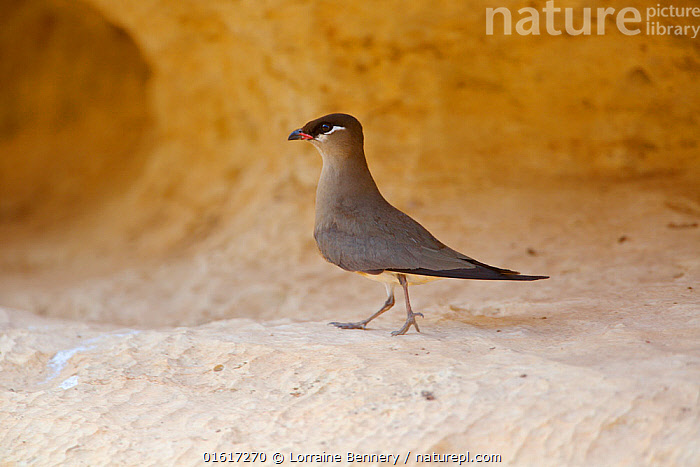 Madagascan pratincole (Glareola ocularis) walking on rock ledge. Tsingy de Bemaraha National Park, Madagascar., Animal,Wildlife,Vertebrate,Bird,Birds,Wader,Pratincole,Madagascan pratincole,Animalia,Animal,Wildlife,Vertebrate,Aves,Bird,Birds,Charadriiformes,Glareolidae,Wader,Shorebird,Glareola,Pratincole,Greywader,Walking,Africa,Madagascar,Malagasy Republic,Republic of Madagascar,Side View,Rock,Reserve,Biodiversity hotspots,Biodiversity hotspot,Endemic,Protected area,UNESCO World Heritage Site,National Park,Moving,Tsingy-de-Bemaraha,Movement,Glareola ocularis,Madagascan pratincole,Tsingy of Bemaraha National Park,, Lorraine Bennery