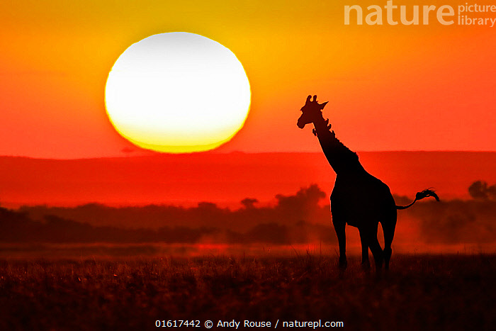 Masai Giraffe (Giraffa camelopardalis) silhouetted at sunset, Masai Mara, Kenya, Animal,Wildlife,Vertebrate,Mammal,Giraffid,Giraffe,Animalia,Animal,Wildlife,Vertebrate,Mammalia,Mammal,Artiodactyla,Even-toed ungulates,Giraffidae,Giraffid,Ruminant,Giraffa,Giraffe,Giraffa camelopardalis,Africa,East Africa,Kenya,Back Lit,Sunset,Setting Sun,Sunsets,Silhouette,Wildlife watching,Dusk,Safari,, Andy Rouse