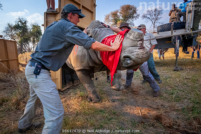 A team of vets and conservationists guide a blindfolded and partially drugged adult White rhinoceros (Ceratotherium simum) out of its transport crate and into its new home in the Okavango Delta in northern Botswana during a translocation operation from South Africa to restore Botswana's lost rhino populations., Animal,Wildlife,Vertebrate,Mammal,Odd toed ungulate,Rhinoceros,White Rhinoceros,Animalia,Animal,Wildlife,Vertebrate,Mammalia,Mammal,Perissodactyla,Odd toed ungulate,Rhinocerotidae,Rhinoceros,Rhino,Ceratotherium,Ceratotherium simum,Square-lipped Rhinoceros,People,Veterinary Surgeon,Africa,Southern Africa,Botswana,Conservation,White Rhinoceros,Wildlife conservation,Reintroduction,Reintroduced,Sedating,Sedated,Tranquillised,Tranquillized,Okavango Delta,Translocation,Translocating,Critically endangered,Endangered species,Threatened, Neil Aldridge