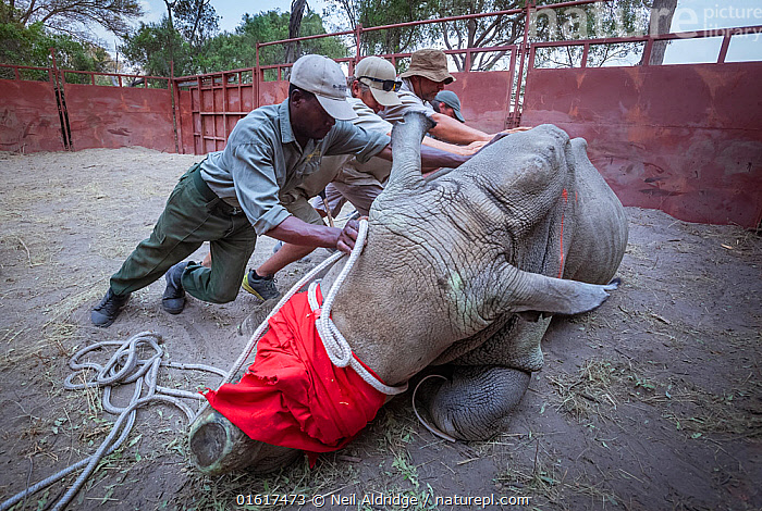 Team of vets and conservation staff move a sedated White rhinoceros (Ceratotherium simum) into a comfortable resting position in a secure enclosure known as a boma during a translocation operation to bring rhinos from South Africa to the Okavango Delta in northern Botswana as part of efforts to rebuild Botswana's lost rhino populations.  ,  Animal,Wildlife,Vertebrate,Mammal,Odd toed ungulate,Rhinoceros,White Rhinoceros,Animalia,Animal,Wildlife,Vertebrate,Mammalia,Mammal,Perissodactyla,Odd toed ungulate,Rhinocerotidae,Rhinoceros,Rhino,Ceratotherium,Ceratotherium simum,Square-lipped Rhinoceros,People,Veterinary Surgeon,Africa,Southern Africa,Botswana,Conservation,White Rhinoceros,Wildlife conservation,Reintroduction,Reintroduced,Sedating,Sedated,Tranquillised,Tranquillized,Blindfolded,Okavango Delta,Translocation,Translocating,Critically endangered,Endangered species,Threatened,catalogue12  ,  Neil Aldridge