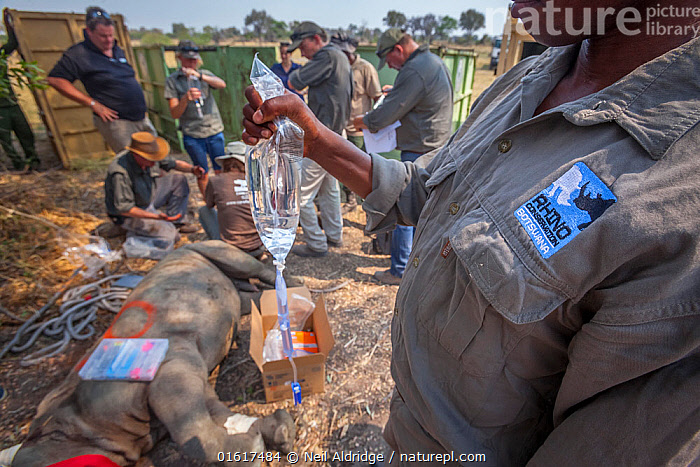 A member of the Rhino Conservation Botswana team holds a drip attached to a young White rhinoceros (Ceratotherium simum) while vets provide the young rhino with care after its translocation from South Africa to Okavango Delta, Botswana., Animal,Wildlife,Vertebrate,Mammal,Odd toed ungulate,Rhinoceros,White Rhinoceros,Animalia,Animal,Wildlife,Vertebrate,Mammalia,Mammal,Perissodactyla,Odd toed ungulate,Rhinocerotidae,Rhinoceros,Rhino,Ceratotherium,Ceratotherium simum,Square-lipped Rhinoceros,People,Veterinary Surgeon,Africa,Southern Africa,Botswana,Conservation,White Rhinoceros,Wildlife conservation,Reintroduction,Reintroduced,Okavango Delta,Translocation,Translocating,Critically endangered,Endangered species,Threatened, Neil Aldridge