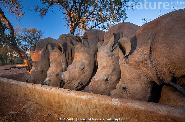 Five orphaned White rhinoceros (Ceratotherium simum) calves feed from a trough at dusk at the Rhino Revolution orphanage near Hoedspruit, South Africa. The mothers of these rhinos were killed by poachers for their horns., Animal,Wildlife,Vertebrate,Mammal,Odd toed ungulate,Rhinoceros,White Rhinoceros,Animalia,Animal,Wildlife,Vertebrate,Mammalia,Mammal,Perissodactyla,Odd toed ungulate,Rhinocerotidae,Rhinoceros,Rhino,Ceratotherium,Ceratotherium simum,Square-lipped Rhinoceros,Africa,Southern Africa,South Africa,Young Animal,Baby,Baby Mammal,Calf,Feeding,Conservation,Animal rehabilitation,Rehabilitation,White Rhinoceros,Wildlife conservation,South African,Animal orphan,Orphan,Critically endangered,Endangered species,Threatened,catalogue12, Neil Aldridge