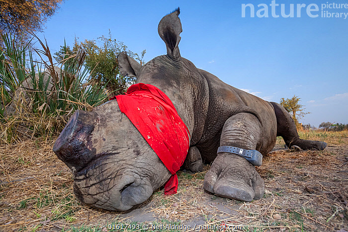 Blindfolded and tranquilised adult White rhinoceros (Ceratotherium simum) with a tracking tag lies and recovers in the Okavango Delta, northern Botswana, following a translocation operation that involved moving rhinos from South Africa to rebuild Botswana's lost rhino populations.  ,  Animal,Wildlife,Vertebrate,Mammal,Odd toed ungulate,Rhinoceros,White Rhinoceros,Animalia,Animal,Wildlife,Vertebrate,Mammalia,Mammal,Perissodactyla,Odd toed ungulate,Rhinocerotidae,Rhinoceros,Rhino,Ceratotherium,Ceratotherium simum,Square-lipped Rhinoceros,Africa,Southern Africa,Botswana,Conservation,White Rhinoceros,Wildlife conservation,Reintroduction,Reintroduced,Okavango Delta,Translocation,Translocating,Critically endangered,Endangered species,Threatened,catalogue12  ,  Neil Aldridge
