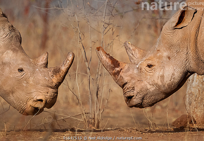 White rhinoceros (Ceratotherium simum) male and female, face to face, Mosi Oa Tunya National Park, Zambia.  ,  Animal,Wildlife,Vertebrate,Mammal,Odd toed ungulate,Rhinoceros,White Rhinoceros,Animalia,Animal,Wildlife,Vertebrate,Mammalia,Mammal,Perissodactyla,Odd toed ungulate,Rhinocerotidae,Rhinoceros,Rhino,Ceratotherium,Ceratotherium simum,Square-lipped Rhinoceros,Two,Africa,Zambia,Southern Africa,Profile,Side View,Reserve,Male female pair,White Rhinoceros,Protected area,National Park,Critically endangered,Endangered species,Threatened,catalogue12  ,  Neil Aldridge