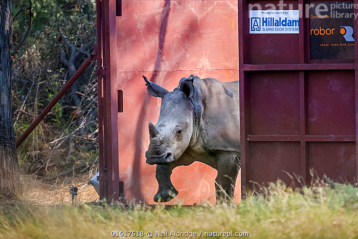 A young White rhinoceros (Ceratotherium simum) leaves a secure enclosure known as a boma in the Okavango Delta, northern Botswana, after being translocated from South Africa as part of efforts to rebuild Botswana's lost rhino populations., Animal,Wildlife,Vertebrate,Mammal,Odd toed ungulate,Rhinoceros,White Rhinoceros,Animalia,Animal,Wildlife,Vertebrate,Mammalia,Mammal,Perissodactyla,Odd toed ungulate,Rhinocerotidae,Rhinoceros,Rhino,Ceratotherium,Ceratotherium simum,Square-lipped Rhinoceros,Africa,Southern Africa,Botswana,Conservation,White Rhinoceros,Wildlife conservation,Reintroduction,Reintroduced,Okavango Delta,Translocation,Translocating,Critically endangered,Endangered species,Threatened, Neil Aldridge
