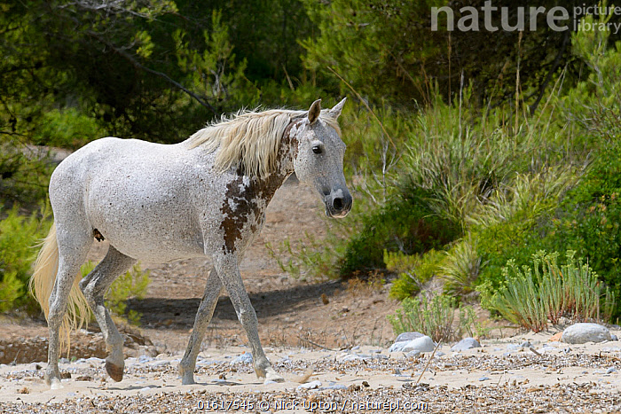 Feral horse (Equus caballus) walking on a remote sandy beach, near Arta, Mallorca, Spain, August.  ,  Equus ferus caballus,Balearic Islands,Majorca,Europe,Southern Europe,Spain,Animal,Coast,Coastal,Feral,Equus ferus caballus,Horse,Wild horse,Feral mammal,Mammal,,catalogue12  ,  Nick Upton