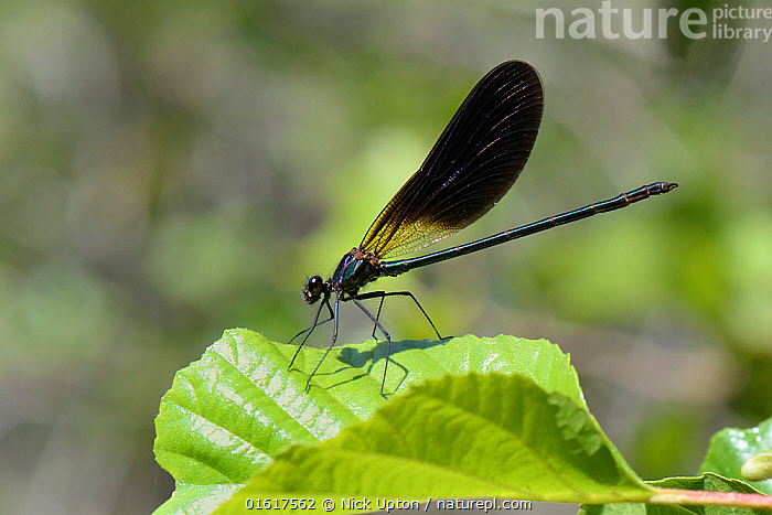 Copper demoiselle / Mediterranean demoiselle damselfly (Calopteryx haemorrhoidalis) male resting on leaves overhanging a mountain stream, Sardinia, Italy, June., Animal,Wildlife,Arthropod,Insect,Pterygota,Broadwinged damselfly,Copper demoiselle,Animalia,Animal,Wildlife,Hexapoda,Arthropod,Invertebrate,Hexapod,Arthropoda,Insecta,Insect,Odonata,Pterygota,Calopterygidae,Broadwinged damselfly,Broad winged damselfly,Demoiselle,Damselfly,Zygoptera,Calopteryx,Calopteryx haemorrhoidalis,Copper demoiselle,Mediterranean demoiselle,Agrion haemorrhoidalis,Europe,Southern Europe,Italy,Sardinia,Profile,Side View,Male Animal,, Nick Upton