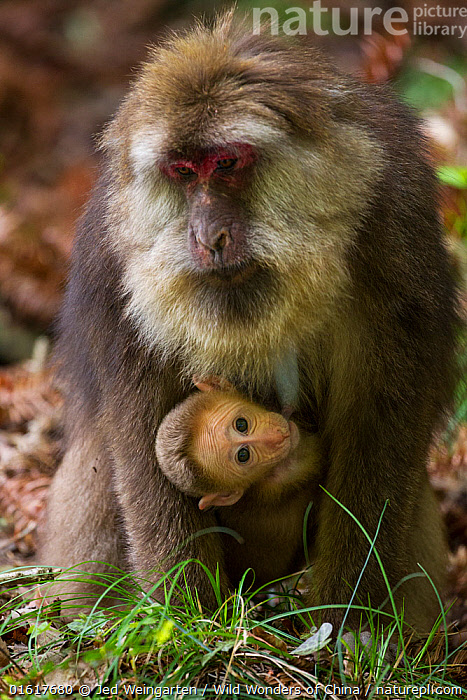 Tibetan macaque (Macaca thibetana) carrying young baby, Tangjiahe Nature Reserve, Sichuan Province, China  ,  Animal,Wildlife,Vertebrate,Mammal,Monkey,Macaque,Milne-edwards' Macaque,Animalia,Animal,Wildlife,Vertebrate,Mammalia,Mammal,Primate,Primates,Cercopithecidae,Monkey,Old World Monkeys,Macaca,Macaque,Papionini,Macaca thibetana,Milne-edwards' Macaque,Père David&#39,s Macaque,Short-tailed Tibetan Macaque,Tibetan Macaque,Asia,East Asia,China,Young Animal,Baby,Reserve,Family,Mother baby,Mother,Protected area,Sichuan Province,Parent baby,Sichuan,,,catalogue12  ,  Jed Weingarten / Wild Wonders of China