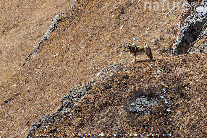 Tibetan wolf (Canis lupus chanco) in mountain landscape, Serxu County, Garze Prefecture, Sichuan Province, China.  ,  Animal,Wildlife,Vertebrate,Mammal,Carnivore,Canid,Grey Wolf,Tibetan wolf,Animalia,Animal,Wildlife,Vertebrate,Mammalia,Mammal,Carnivora,Carnivore,Canidae,Canid,Canis,Canis lupus,Grey Wolf,Common Wolf,Wolf,Asia,East Asia,China,Habitat,Reserve,Protected area,Tibetan wolf,Sichuan Province,Sichuan,,,catalogue12  ,  Jed Weingarten / Wild Wonders of China