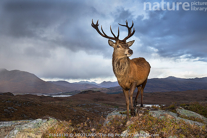 Red deer (Cervus elaphus) stag in upland landscape. Lochcarron, Highlands, Scotland, UK.  ,  Animal,Wildlife,Vertebrate,Mammal,Deer,Red Deer,Animalia,Animal,Wildlife,Vertebrate,Mammalia,Mammal,Artiodactyla,Even-toed ungulates,Cervidae,Deer,True deer,ruminantia,Ruminant,Cervus,Cervus elaphus,Red Deer,Europe,Western Europe,UK,Great Britain,Scotland,Highland,Front View,Male Animal,Stag,Stags,Antler,Antlers,Hill,Mountain,Rock,Weather,Overcast,Landscape,Nature,Power In Nature,Power,Powerful,Freshwater,Lake,Water,Highlands of Scotland,Upland,Loch,SCOTLAND: The Big Picture,Pete Cairns,  ,  SCOTLAND: The Big Picture