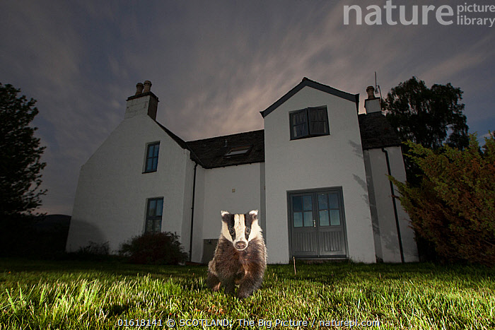 European badger (Meles meles) in front of house at night, Glenfeshie, Cairngorms National Park, Scotland, UK.  ,  Animal,Wildlife,Vertebrate,Mammal,Carnivore,Mustelid,Badger,Animalia,Animal,Wildlife,Vertebrate,Mammalia,Mammal,Carnivora,Carnivore,Mustelidae,Mustelid,Meles,Badger,Meles meles,Eurasian Badger,Walking,Europe,Western Europe,UK,Great Britain,Scotland,Highland,Front View,Grounds,Ground,Lawn,Lawns,Turf,Building,Residential Structure,House,Houses,Night,Nocturnal,Reserve,Protected area,Highlands of Scotland,National Park,Cairngorms,Direct Gaze,Cairngorms National Park,Moving,SCOTLAND: The Big Picture,Pete Cairns,Glenfeshie,Movement,,catalogue12  ,  SCOTLAND: The Big Picture