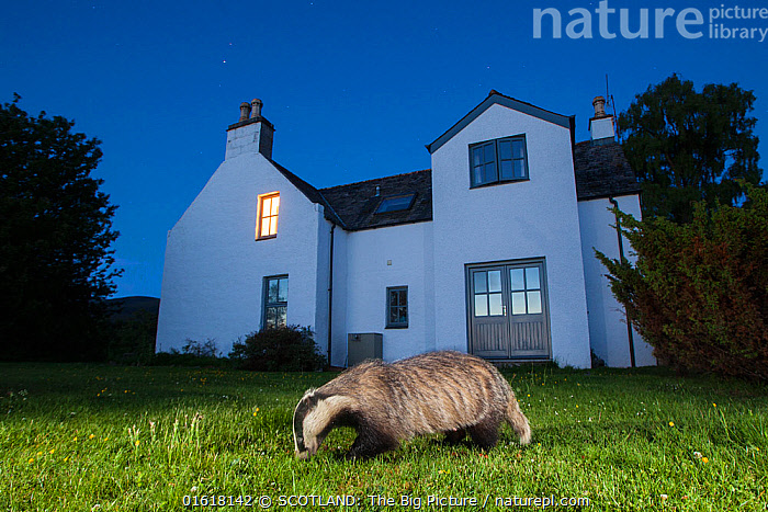 European badger (Meles meles) foraging in front of house at night. Glenfeshie, Cairngorms National Park, Scotland, UK., Animal,Wildlife,Vertebrate,Mammal,Carnivore,Mustelid,Badger,Animalia,Animal,Wildlife,Vertebrate,Mammalia,Mammal,Carnivora,Carnivore,Mustelidae,Mustelid,Meles,Badger,Meles meles,Eurasian Badger,Foraging,Europe,Western Europe,UK,Great Britain,Scotland,Highland,Profile,Side View,Grounds,Ground,Lawn,Lawns,Turf,Building,Residential Structure,House,Houses,Sky,Clear Sky,Night,Nocturnal,Feeding,Reserve,Protected area,Highlands of Scotland,National Park,Cairngorms,Cairngorms National Park,SCOTLAND: The Big Picture,Pete Cairns,Glenfeshie,, SCOTLAND: The Big Picture