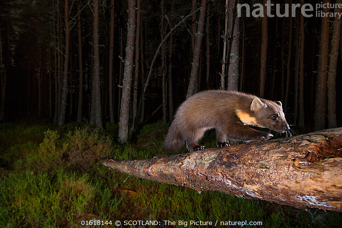 Pine marten (Martes martes) foraging in Pine (Pinus sp) woodland at night. Glenfeshie, Cairngorms National Park, Scotland, UK.  ,  Animal,Wildlife,Vertebrate,Mammal,Carnivore,Mustelid,Marten,European Pine Martin,Animalia,Animal,Wildlife,Vertebrate,Mammalia,Mammal,Carnivora,Carnivore,Mustelidae,Mustelid,Martes,Marten,Martes martes,European Pine Martin,Pine Marten,Foraging,Walking,Dark,Europe,Western Europe,UK,Great Britain,Scotland,Highland,Side View,Night,Nocturnal,Coniferous forest,Reserve,Forest,Protected area,Highlands of Scotland,National Park,Cairngorms,Cairngorms National Park,Moving,SCOTLAND: The Big Picture,Pete Cairns,Glenfeshie,Movement,,catalogue12  ,  SCOTLAND: The Big Picture