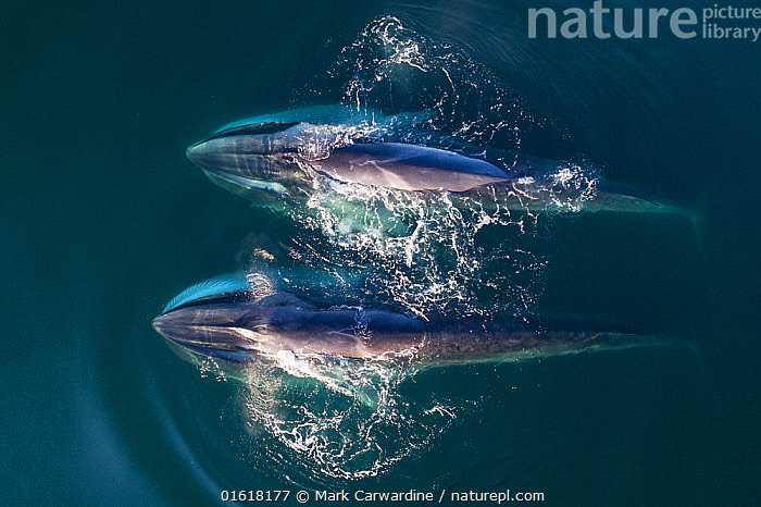 Aerial view Fin whales (Balaenoptera physalus) lunge-feeding in the southern Sea of Cortez (Gulf of California), Baja California, Mexico., Animal,Wildlife,Vertebrate,Mammal,Ceteacean,Fin Whale,Baleen whale,Animalia,Animal,Wildlife,Vertebrate,Mammalia,Mammal,Cetacea,Ceteacean,Balaenopteridae,Balaenoptera,Balaenoptera physalus,Fin Whale,Common Rorqual,Finback,Fin-backed Whale,Finner,Herring Whale,Razorback,Two,Latin America,Central America,Mexico,Aerial View,High Angle View,Tropical,Ocean,Pacific Ocean,Marine,Water,Feeding,Saltwater,Sea,Elevated view,Surface,Gulf of California,Baja California Peninsula,Drone,Drone shot,Drone shots,Baleen whale,Endangered species,threatened,Endangered, Mark Carwardine