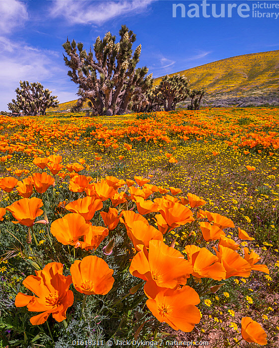 Yellow California goldfields (Lasthenia californica) and orange California Poppies (Eschscholzia californica), with a flowering Joshua tree (Yucca brevifolia). Antelope Butte, near the Antelope Valley California Poppy Reserve, Mojave Desert, California, USA. 1st April 2019., Plant,Vascular plant,Flowering plant,Dicot,Goldenpoppy,California poppy,Asterid,Goldfield,Goldfields,Monocot,Joshua tree,American,Plantae,Plant,Tracheophyta,Vascular plant,Magnoliopsida,Flowering plant,Angiosperm,Seed plant,Spermatophyte,Spermatophytina,Angiospermae,Ranunculales,Dicot,Dicotyledon,Ranunculanae,Papaveraceae,Fumariaceae,Eschscholzia,Goldenpoppy,Golden poppy,Eschscholzia californica,California poppy,California goldenpoppy,Chelidonium multifidum,Chryseis caespitosa,Chryseis californica,Asterales,Asterid,Asteranae,Asteraceae,Compositae,Lasthenia,Goldfield,Lasthenia californica,Goldfields,California goldfields,Lasthenia chrysostoma,Baeria chrysostoma,Burrielia chrysostoma,Asparagales,Monocot,Monocotyledon,Lilianae,Asparagaceae,Yucca,Yucca brevifolia,Joshua tree,Yucca palm,Tree yucca,Palm tree yucca,Clistoyucca arborescens,Clistoyucca brevifolia,Sarcoyucca brevifolia,Colour,Orange,Colourful,North America,USA,Western USA,Southwest USA,California,Wildflower,Wildflowers,Flower,Sky,Landscape,Blue sky,Mojave Desert,American,United States of America,, Jack Dykinga