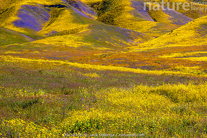 Steep valleys in the foothills of the Temblor Range, carpeted with Coreopsis (yellow) and Phacelia (purple) with patches of orange California poppy (Eschscholzia californica). Carrizo Plain, California, USA. 31st March 2019.  ,  American,Angiosperm,Angiospermae,Asteraceae,Asterales,Asteranae,Asterid,Borage,Boraginaceae,Boraginales,California,California goldenpoppy,California poppy,catalogue12,Chelidonium multifidum,Chryseis caespitosa,Chryseis californica,Colour,Colourful,Compositae,Coreopses,Coreopsis,Coreopsises,Dicot,Dicotyledon,Eschscholzia,Eschscholzia californica,Flower,Flowering plant,Fumariaceae,Golden poppy,Goldenpoppy,Landscape,Magnoliopsida,North America,Papaveraceae,Phacelia,Plant,plant plant,Plantae,Ranunculales,Ranunculanae,Scorpion weed,Scorpionweed,Southwest USA,Spermatophyte,Spermatophytina,Tickplant,Tracheophyta,United States of America,USA,Vascular plant,Western USA,Wildflower,Wildflowers,Yellow  ,  Jack Dykinga