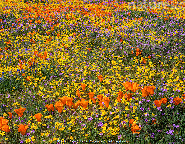 Yellow California goldfields (Lasthenia californica) and orange California poppies (Eschscholzia californica), with gilia intermixed. Antelope Butte, near the Antelope Valley California Poppy Reserve, Mojave Desert, California, USA. 29th March 2019.  ,  Plant,Vascular plant,Flowering plant,Dicot,Goldenpoppy,California poppy,Asterid,Goldfield,Goldfields,American,Plantae,Plant,Tracheophyta,Vascular plant,Magnoliopsida,Flowering plant,Angiosperm,Seed plant,Spermatophyte,Spermatophytina,Angiospermae,Ranunculales,Dicot,Dicotyledon,Ranunculanae,Papaveraceae,Fumariaceae,Eschscholzia,Goldenpoppy,Golden poppy,Eschscholzia californica,California poppy,California goldenpoppy,Chelidonium multifidum,Chryseis caespitosa,Chryseis californica,Asterales,Asterid,Asteranae,Asteraceae,Compositae,Lasthenia,Goldfield,Lasthenia californica,Goldfields,California goldfields,Lasthenia chrysostoma,Baeria chrysostoma,Burrielia chrysostoma,Colour,Orange,Yellow,Colourful,North America,USA,Western USA,Southwest USA,California,Wildflower,Wildflowers,Flower,Mojave Desert,American,United States of America,  ,  Jack Dykinga