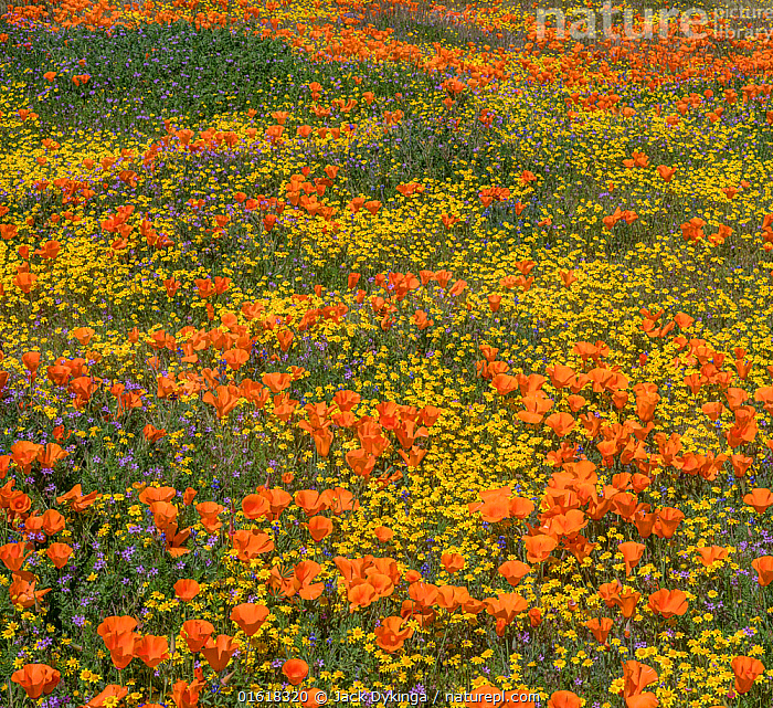 Yellow California goldfields (Lasthenia californica) and orange California poppies (Eschscholzia californica), with gilia intermixed. Antelope Butte, near the Antelope Valley California Poppy Reserve, Mojave Desert, California, USA. 29th March 2019., Plant,Vascular plant,Flowering plant,Dicot,Goldenpoppy,California poppy,Asterid,Goldfield,Goldfields,American,Plantae,Plant,Tracheophyta,Vascular plant,Magnoliopsida,Flowering plant,Angiosperm,Seed plant,Spermatophyte,Spermatophytina,Angiospermae,Ranunculales,Dicot,Dicotyledon,Ranunculanae,Papaveraceae,Fumariaceae,Eschscholzia,Goldenpoppy,Golden poppy,Eschscholzia californica,California poppy,California goldenpoppy,Chelidonium multifidum,Chryseis caespitosa,Chryseis californica,Asterales,Asterid,Asteranae,Asteraceae,Compositae,Lasthenia,Goldfield,Lasthenia californica,Goldfields,California goldfields,Lasthenia chrysostoma,Baeria chrysostoma,Burrielia chrysostoma,Colour,Orange,Yellow,Colourful,North America,USA,Western USA,Southwest USA,California,Wildflower,Wildflowers,Flower,Mojave Desert,American,United States of America,, Jack Dykinga