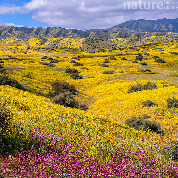 Foothills of the Temblor Range, carpeted with Coreopsis (yellow) and Purple Owl's Clover (Castilleja exserta) flowers. Carrizo Plain, California, USA. 30th March 2019., Plant,Vascular plant,Flowering plant,Asterid,Broomrape family,Indian paintbrush,Purple owl&#39,s clover,Tickseed,American,Plantae,Plant,Tracheophyta,Vascular plant,Magnoliopsida,Flowering plant,Angiosperm,Seed plant,Spermatophyte,Spermatophytina,Angiospermae,Lamiales,Asterid,Dicot,Dicotyledon,Asteranae,Orobanchaceae,Broomrape family,Broomrape,Castilleja,Indian paintbrush,Indian paint brush,Prairie fire,Castilleja exserta,Purple owl&#39,s clover,Escobita,Red owl&#39,s clover,Exserted Indian paintbrush,Owl clover,Orthicarpus purpurascens,Orthocarpus exsertus,Asterales,Asteraceae,Compositae,Coreopsis,Tickseed,Coreopsises,Coreopses,Colour,Yellow,Colourful,North America,USA,Western USA,Southwest USA,California,Wildflower,Wildflowers,Flower,Landscape,American,United States of America,, Jack Dykinga