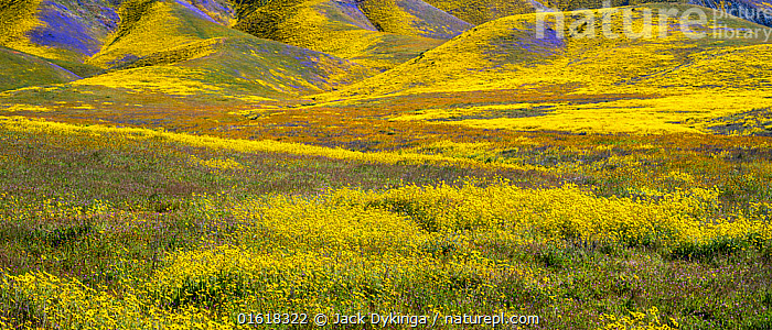 Steep valleys in the foothills of the Temblor Range, carpeted with Coreopsis (yellow) and Phacelia (purple) with patches of orange California poppy (Eschscholzia californica). Carrizo Plain, California, USA. 31st March 2019., Plant,Vascular plant,Flowering plant,Dicot,Goldenpoppy,California poppy,Asterid,Borage,Scorpionweed,Tickseed,American,Plantae,Plant,Tracheophyta,Vascular plant,Magnoliopsida,Flowering plant,Angiosperm,Seed plant,Spermatophyte,Spermatophytina,Angiospermae,Ranunculales,Dicot,Dicotyledon,Ranunculanae,Papaveraceae,Fumariaceae,Eschscholzia,Goldenpoppy,Golden poppy,Eschscholzia californica,California poppy,California goldenpoppy,Chelidonium multifidum,Chryseis caespitosa,Chryseis californica,Boraginales,Asterid,Asteranae,Boraginaceae,Borage,Phacelia,Scorpionweed,Scorpion weed,Asterales,Asteraceae,Compositae,Coreopsis,Tickseed,Coreopsises,Coreopses,Colour,Yellow,Colourful,North America,USA,Western USA,Southwest USA,California,Wildflower,Wildflowers,Flower,Landscape,American,United States of America,, Jack Dykinga