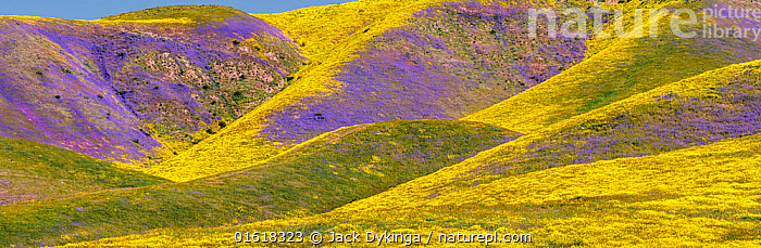 Steep valleys in the foothills of the Temblor Range, carpeted with Coreopsis (yellow) and Phacelia (purple) with patches of orange California poppy (Eschscholzia californica). Carrizo Plain, California, USA. 31st March 2019.  ,  Plant,Vascular plant,Flowering plant,Dicot,Goldenpoppy,California poppy,Asterid,Borage,Scorpionweed,Tickseed,American,Plantae,Plant,Tracheophyta,Vascular plant,Magnoliopsida,Flowering plant,Angiosperm,Seed plant,Spermatophyte,Spermatophytina,Angiospermae,Ranunculales,Dicot,Dicotyledon,Ranunculanae,Papaveraceae,Fumariaceae,Eschscholzia,Goldenpoppy,Golden poppy,Eschscholzia californica,California poppy,California goldenpoppy,Chelidonium multifidum,Chryseis caespitosa,Chryseis californica,Boraginales,Asterid,Asteranae,Boraginaceae,Borage,Phacelia,Scorpionweed,Scorpion weed,Asterales,Asteraceae,Compositae,Coreopsis,Tickseed,Coreopsises,Coreopses,Colour,Yellow,Colourful,North America,USA,Western USA,Southwest USA,California,Wildflower,Wildflowers,Flower,Landscape,American,United States of America,  ,  Jack Dykinga