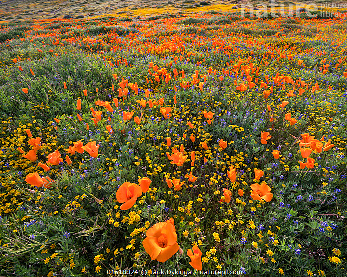 Yellow California goldfields (Lasthenia californica) and orange California poppies (Eschscholzia californica), with lupins intermixed. Antelope Butte, near the Antelope Valley California Poppy Reserve, Mojave Desert, California, USA. 31st March 2019.  ,  American,Angiosperm,Angiospermae,Asteraceae,Asterales,Asteranae,Asterid,Baeria chrysostoma,Burrielia chrysostoma,California,California goldenpoppy,California goldfields,California poppy,catalogue12,Chelidonium multifidum,Chryseis caespitosa,Chryseis californica,Colour,Colourful,Compositae,Dicot,Dicotyledon,Eschscholzia,Eschscholzia californica,Flower,Flowering plant,Fumariaceae,Golden poppy,Goldenpoppy,Goldfield,Goldfields,Landscape,Lasthenia,Lasthenia californica,Lasthenia chrysostoma,Magnoliopsida,Mojave Desert,North America,Orange,Papaveraceae,Plant,plant plant,Plantae,Ranunculales,Ranunculanae,Southwest USA,Spermatophyte,Spermatophytina,Tracheophyta,United States of America,USA,Vascular plant,Western USA,Wildflower,Wildflowers  ,  Jack Dykinga