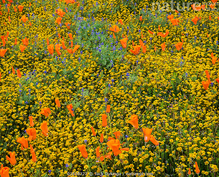 Yellow California goldfields (Lasthenia californica) and orange California poppies (Eschscholzia californica), with lupins intermixed. Antelope Butte, near the Antelope Valley California Poppy Reserve, Mojave Desert, California, USA. 31st March 2019., Plant,Vascular plant,Flowering plant,Dicot,Goldenpoppy,California poppy,Asterid,Goldfield,Goldfields,American,Plantae,Plant,Tracheophyta,Vascular plant,Magnoliopsida,Flowering plant,Angiosperm,Seed plant,Spermatophyte,Spermatophytina,Angiospermae,Ranunculales,Dicot,Dicotyledon,Ranunculanae,Papaveraceae,Fumariaceae,Eschscholzia,Goldenpoppy,Golden poppy,Eschscholzia californica,California poppy,California goldenpoppy,Chelidonium multifidum,Chryseis caespitosa,Chryseis californica,Asterales,Asterid,Asteranae,Asteraceae,Compositae,Lasthenia,Goldfield,Lasthenia californica,Goldfields,California goldfields,Lasthenia chrysostoma,Baeria chrysostoma,Burrielia chrysostoma,Colour,Orange,Colourful,North America,USA,Western USA,Southwest USA,California,Wildflower,Wildflowers,Flower,Mojave Desert,American,United States of America,, Jack Dykinga