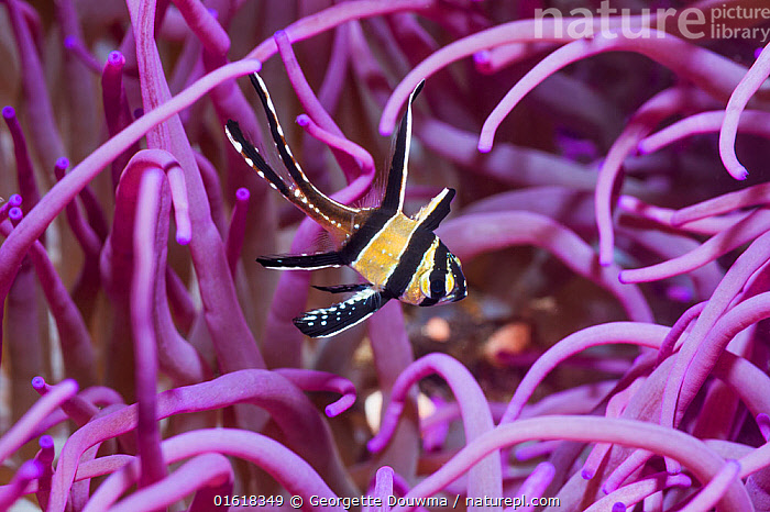 Banggai cardinalfish (Pterapogon kauderni) with a Corkscrew or Long tentacle anemone (Macrodactyla doreensis). Lembeh Strait, North Sulawesi, Indonesia.  ,  Animal,Wildlife,Cnidarian,Anthrozoan,Sea anemone,Vertebrate,Ray-finned fish,Percomorphi,Cardinalfish,Banggai cardinalfish,Corkscrew tentacle sea anemone,Animalia,Animal,Wildlife,Cnidaria,Cnidarian,Coelentrerata,Anthozoa,Anthrozoan,Actiniaria,Sea anemone,Actiniidae,Vertebrate,Actinopterygii,Ray-finned fish,Osteichthyes,Bony fish,Fish,Perciformes,Percomorphi,Acanthopteri,Apogonidae,Cardinalfish,Pterapogon,Pterapogon kauderni,Banggai cardinalfish,Colour,Purple,Asia,South East Asia,Indonesia,Tropical,Ocean,Marine,Underwater,Water,Indo Pacific,Saltwater,Biodiversity hotspot,Sulawesi,Wallacea,Lembeh Strait,Lembeh,Macrodactyla,Macrodactyla doreensis,Corkscrew tentacle sea anemone,Invertebrate,Invertebrates,Marine,Freshwater,,catalogue12  ,  Georgette Douwma