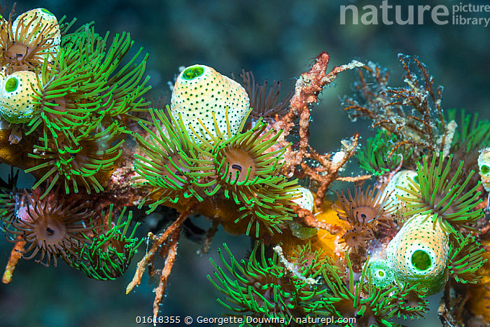 Colonial anemones (Amphianthus nitidus) with Green urn sea squirts (Didemnum molle) (Atriolum robustum). Lembeh Strait, North Sulawesi, Indonesia.  ,  Animal,Wildlife,Cnidarian,Anthrozoan,Sea anemone,Chordate,Sea squirt,Tunicate,Animalia,Animal,Wildlife,Cnidaria,Cnidarian,Coelentrerata,Anthozoa,Anthrozoan,Actiniaria,Sea anemone,Hormathiidae,Invertebrate Chordata,Chordate,Invertebrate,Chordata,Ascidiacea,Sea squirt,Ascidian,Tunicate,Tunicata,Aplousobranchia,Didemnidae,Atriolum,Atriolum robustum,Atriolum robostum,Didemnum,Didemnum molle,Didemnum sycon,Diplosomoides molle,Lissoclinum molle,Asia,South East Asia,Indonesia,Tropical,Ocean,Marine,Underwater,Water,Indo Pacific,Saltwater,Biodiversity hotspot,Sulawesi,Wallacea,Lembeh Strait,Lembeh,Amphianthus,Amphianthus nitidus,Invertebrate,Invertebrates,Marine,,catalogue12  ,  Georgette Douwma