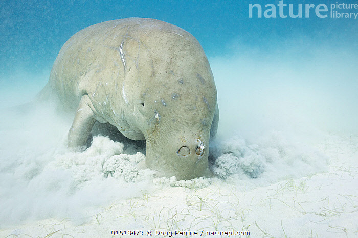 Dugong or Sea cow (Dugong dugon) male feeding on Seagrass, Calauit Island, off Busuanga, Calamian Islands, Palawan, Philippines.  ,  Animal,Wildlife,Vertebrate,Mammal,Sea cow,Dugong,Animalia,Animal,Wildlife,Vertebrate,Mammalia,Mammal,Sirenia,Sea cow,Dugonidae,Dugong,Dugong dugon,Sea Cow,Dugong dugong,Dugong dugung,Dugong indicus,Tropical,Seabed,Ocean,Marine,Underwater,Water,Feeding,Indo Pacific,Saltwater,Endangered species,threatened,Vulnerable  ,  Doug Perrine