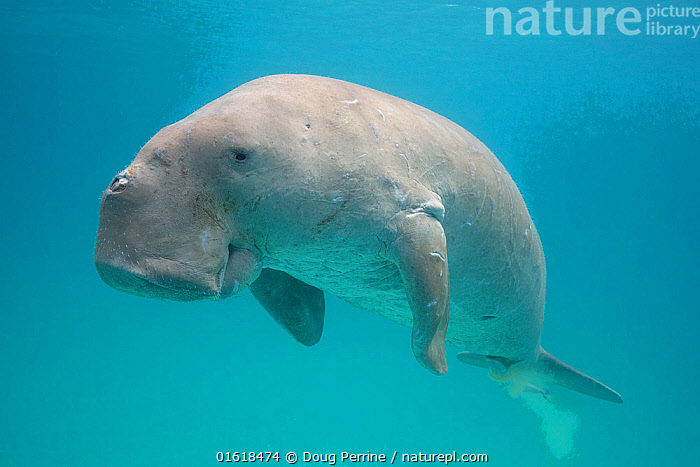 Dugong or Sea cow (Dugong dugon) with a Remora (Echeneis naucrates) attached to its underside, Calauit Island, off Busuanga, Calamian Islands, Palawan, Philippines.  ,  Animal,Wildlife,Vertebrate,Ray-finned fish,Percomorphi,Remora,Sharksucker,Mammal,Sea cow,Dugong,Animalia,Animal,Wildlife,Vertebrate,Actinopterygii,Ray-finned fish,Osteichthyes,Bony fish,Fish,Perciformes,Percomorphi,Acanthopteri,Echeneididae,Remora,Suckerfish,Sucker fish,Echeneis,Echeneis naucrates,Sharksucker,Live sharksucker,Australian remora,Common remora,Gapu,Shark remora,Slender suckerfish,Striped suckerfish,White tailed remore,White tailed remora,Leptecheneis naucrates,Echeneis fasciata,Echeneis lunata,Mammalia,Mammal,Sirenia,Sea cow,Dugonidae,Dugong,Dugong dugon,Sea Cow,Dugong dugong,Dugong dugung,Dugong indicus,Tropical,Ocean,Marine,Underwater,Water,Indo Pacific,Saltwater,Marine,Endangered species,threatened,Vulnerable  ,  Doug Perrine