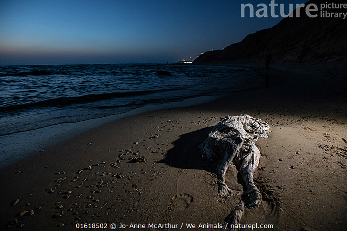 Dead cattle calf on a beach. One of the ways live transport ships dispose of dead and dying animals is to throw them overboard. In Israel, it's not uncommon to see animals like this decomposing calf washed up on public beaches.