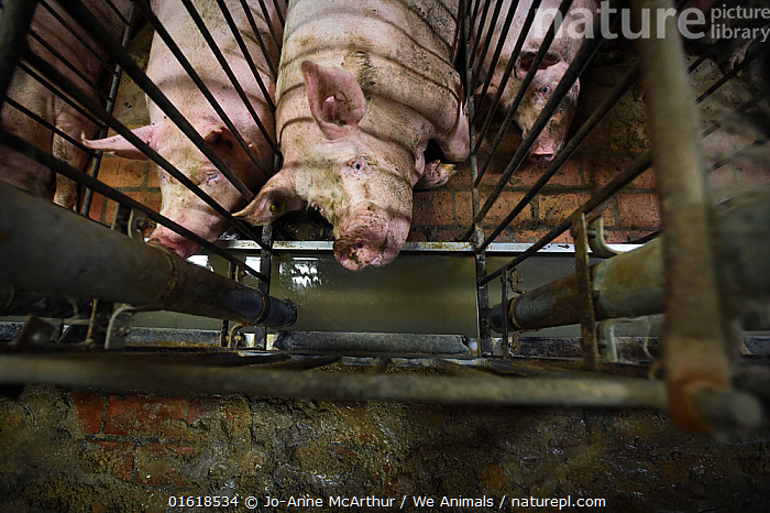 Pigs, pregnant sows, kept in narrow gestational crates, Italy, September 2015, Europe,Southern Europe,Italy,Animal,Cage,Cages,Confined Space,Confined,Enclosed,Agriculture,Livestock,Domestic animal,Domestic Pig,Domesticated,Sus scrofa domestica,Mammal,, Jo-Anne McArthur / We Animals