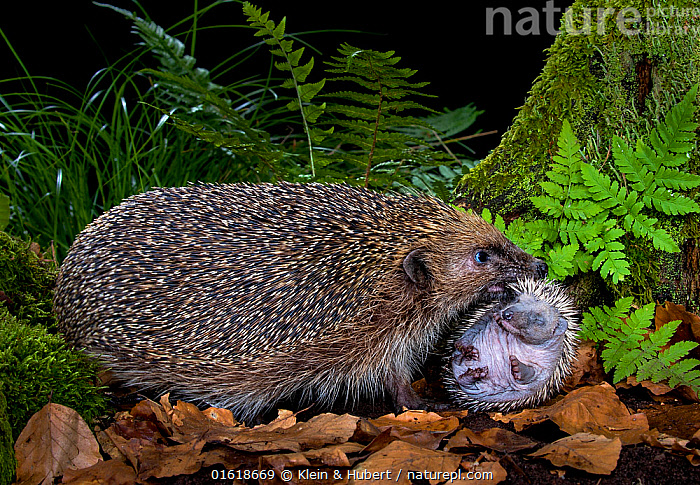 Hedgehog (Erinaceus europaeus) carrying hoglet, age 10 days to new nest. France.  ,  Animal,Wildlife,Vertebrate,Mammal,Hedgehog,European Hedgehog,Animalia,Animal,Wildlife,Vertebrate,Mammalia,Mammal,Erinaceomorpha,Erinaceidae,Hedgehog,Erinaceus,Erinaceus europaeus,European Hedgehog,Western European Hedgehog,Western Hedgehog,Europe,Western Europe,France,Young Animal,Baby,Female animal,Night,Family,Mother baby,Mother,Defensive structures,Helpless young,Spine,Parent baby,  ,  Klein & Hubert