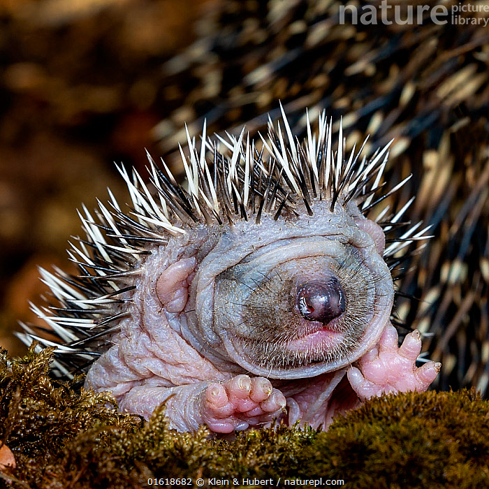 Common hedgehog (Erinaceus europaeus) hoglet aged five days, eyes not yet open  ,  Animal,Wildlife,Vertebrate,Mammal,Hedgehog,European Hedgehog,Animalia,Animal,Wildlife,Vertebrate,Mammalia,Mammal,Erinaceomorpha,Erinaceidae,Hedgehog,Erinaceus,Erinaceus europaeus,European Hedgehog,Western European Hedgehog,Western Hedgehog,Cute,Adorable,Europe,Western Europe,France,Portrait,Young Animal,Baby,Defensive structures,Helpless young,Spine,  ,  Klein & Hubert