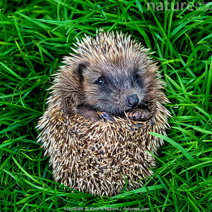 Common hedgehog (Erinaceus europaeus) young orphan, curled in a ball in grass. France.  ,  Animal,Wildlife,Vertebrate,Mammal,Hedgehog,European Hedgehog,Animalia,Animal,Wildlife,Vertebrate,Mammalia,Mammal,Erinaceomorpha,Erinaceidae,Hedgehog,Erinaceus,Erinaceus europaeus,European Hedgehog,Western European Hedgehog,Western Hedgehog,Cute,Adorable,Europe,Western Europe,France,Defensive structures,Spine,Curled up,  ,  Klein & Hubert