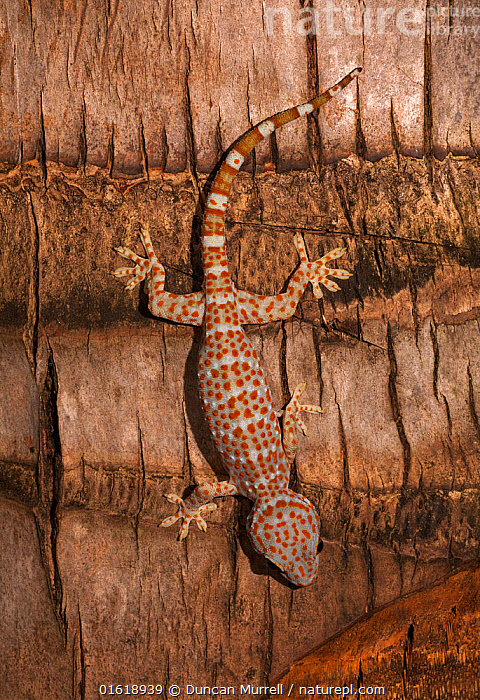 Tokay gecko (Gekko gecko) Palawan, the Philippines.  ,  Animal,Wildlife,Vertebrate,Reptile,Squamate,Gecko,Tokay gecko,Animalia,Animal,Wildlife,Vertebrate,Reptilia,Reptile,Squamata,Squamate,Gekkonidae,Gecko,Lizard,Gekko,Gekko gecko,Tokay gecko,Lacerta Gecko,Gekko verticillatus,Gekko teres,Asia,South East Asia,Republic of the Philippines,Biodiversity hotspots,Biodiversity hotspot,Philippines,Protected area,UNESCO World Heritage Site,Palawan,  ,  Duncan Murrell