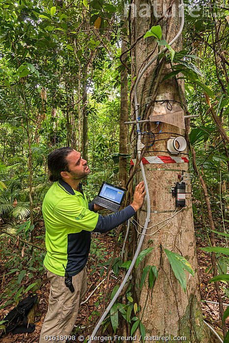 Dr. Alex Cheesman researching changes in phloem flux to environmental variables in two tropical forest canopy tree species at the Daintree Rainforest Observatory, Queensland, Australia. February 2015. Model released.  ,  People,Man,Research,Researching,Australasia,Australia,Queensland,Plant,Tree Trunk,Tree,Science,Rainforest,Tropical rainforest,Forest,Interesting,Trunk,,catalogue12  ,  Jurgen Freund