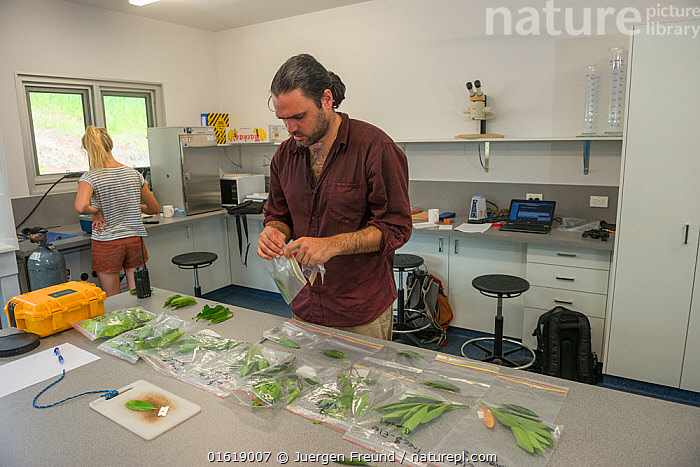 Scientists with leaf samples from Daintree Rainforest Observatory, Queensland, Australia February 2015, People,Man,Research,Researching,Australasia,Australia,Queensland,Plant,Leaf,Foliage,Tree,Building,Place Of Research,Research Facility,Research Facilities,Laboratory,Lab,Laboratories,Labs,Science,Rainforest,Tropical rainforest,Forest,, Jurgen Freund