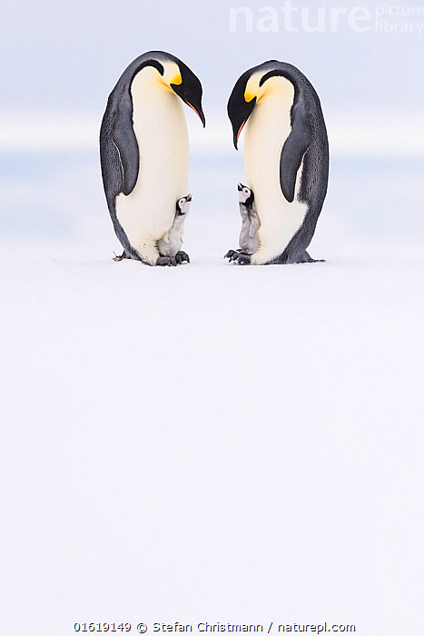 Emperor penguin (Aptenodytes forsteri), two adults brooding begging chicks aged five weeks. Atka Bay, Antarctica. September., Animal,Wildlife,Vertebrate,Bird,Birds,Penguin,Emperor penguin,Animalia,Animal,Wildlife,Vertebrate,Aves,Bird,Birds,Sphenisciformes,Penguin,Seabird,Spheniscidae,Aptenodytes,Aptenodytes forsteri,Emperor penguin,Vocalisation,Calling,Conversation,Cute,Adorable,Friendship,Few,Four,Group,Shape,Heart Shape,Heart Shaped,Heart Shapes,Love Heart,Love Hearts,Antarctica,Antarctic,Polar,Copy Space,Side View,Young Animal,Baby,Chick,Ice,Snow,Winter,Animal Behaviour,Brooding,Parental behaviour,Family,Behaviour,Parental,Begging,Negative space,Parent baby,Four animals,Behavioural,Queen Maud Land,Atka Bay,Flightless, Stefan Christmann