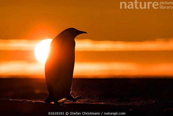 Emperor penguin (Aptenodytes forsteri) silhouetted at sunset. Atka Bay, Antarctica. September., Animal,Wildlife,Vertebrate,Bird,Birds,Penguin,Emperor penguin,Animalia,Animal,Wildlife,Vertebrate,Aves,Bird,Birds,Sphenisciformes,Penguin,Seabird,Spheniscidae,Aptenodytes,Aptenodytes forsteri,Emperor penguin,Walking,Antarctica,Antarctic,Polar,Side View,Back Lit,Sunset,Setting Sun,Sunsets,Winter,Twilight,Evening,Silhouette,Dusk,Moving,Movement,Queen Maud Land,Atka Bay,Flightless, Stefan Christmann
