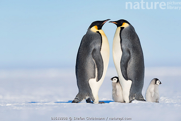 Emperor penguin (Aptenodytes forsteri), two adults with chicks aged six to eight weeks. Atka Bay, Antarctica. September., Animal,Wildlife,Vertebrate,Bird,Birds,Penguin,Emperor penguin,Animalia,Animal,Wildlife,Vertebrate,Aves,Bird,Birds,Sphenisciformes,Penguin,Seabird,Spheniscidae,Aptenodytes,Aptenodytes forsteri,Emperor penguin,Greeting,Friendship,Face To Face,Few,Four,Group,Antarctica,Antarctic,Polar,Copy Space,Side View,Young Animal,Baby,Chick,Winter,Family,Negative space,Parent baby,Four animals,Queen Maud Land,Atka Bay,Flightless, Stefan Christmann
