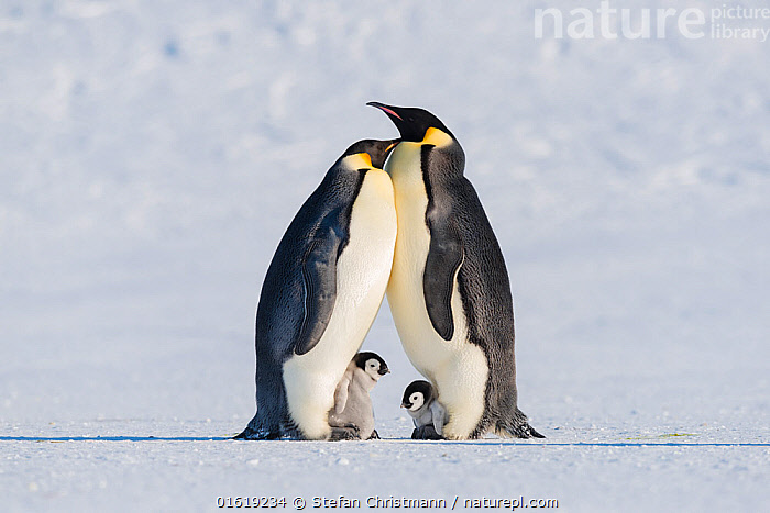 Emperor penguin (Aptenodytes forsteri), two adults brooding chicks. Atka Bay, Antarctica. September., Animal,Wildlife,Vertebrate,Bird,Birds,Penguin,Emperor penguin,Animalia,Animal,Wildlife,Vertebrate,Aves,Bird,Birds,Sphenisciformes,Penguin,Seabird,Spheniscidae,Aptenodytes,Aptenodytes forsteri,Emperor penguin,Friendship,Few,Four,Group,Antarctica,Antarctic,Polar,Copy Space,Side View,Young Animal,Baby,Chick,Snow,Winter,Family,Negative space,Parent baby,Four animals,Queen Maud Land,Atka Bay,Flightless, Stefan Christmann