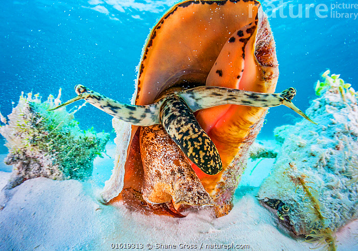 A small aggreggation of queen conch (Lobatus gigas) off Cat Island, Bahamas  ,  Animal,Wildlife,Mollusc,Gastropod,Hypsogastropoda,Conch,Queen conch,Animalia,Animal,Wildlife,Mollusca,Mollusc,Gastropoda,Gastropod,Littorinimorpha,Hypsogastropoda,Caenogastropoda,Strombidae,Conch,Lobatus,Lobatus gigas,Queen conch,Strombus gigas,Eustrombus gigas,Strombus canaliculatus,Strombus horridus,The Caribbean,Caribbean,West Indies,Tropical,Ocean,Caribbean Sea,Marine,Water,Saltwater,Biodiversity hotspots,Invertebrate,Invertebrates,Marine,catalogue12  ,  Shane Gross