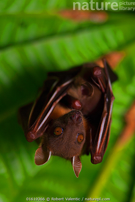Short-nosed fruit-bat (Cynopterus brachyotis) roosting, Ko Chang Island, Thailand., Animal,Wildlife,Vertebrate,Mammal,Bat,Mega bat,Common Short-nosed Fruit Bat,Animalia,Animal,Wildlife,Vertebrate,Mammalia,Mammal,Chiroptera,Bat,Pteropodidae,Mega bat,Megabat,Megachiroptera,Cynopterus,Cynopterus brachyotis,Common Short-nosed Fruit Bat,Lesser Dog-faced Fruit Bat,Lesser Short-nosed Fruit Bat,Roosting,Roost,Asia,South East Asia,Thailand,Portrait,, Robert Valentic