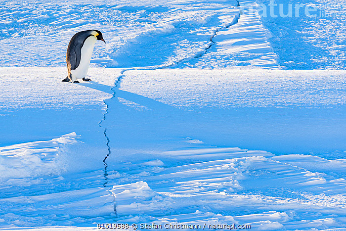 Emperor penguin (Aptenodytes forsteri) walking across crack in sea ice during return to breeding colony. Atka Bay, Antarctica. April., Animal,Wildlife,Vertebrate,Bird,Birds,Penguin,Emperor penguin,Animalia,Animal,Wildlife,Vertebrate,Aves,Bird,Birds,Sphenisciformes,Penguin,Seabird,Spheniscidae,Aptenodytes,Aptenodytes forsteri,Emperor penguin,Walking,Journey,Cracked,Antarctica,Antarctic,Polar,Shadow,Ice,Ice Formation,Snow,Snowdrift,Snowdrifts,Landscape,Winter,Moving,Sea ice,Long Shadow,Sastrugi,Movement,Queen Maud Land,Atka Bay,Flightless, Stefan Christmann