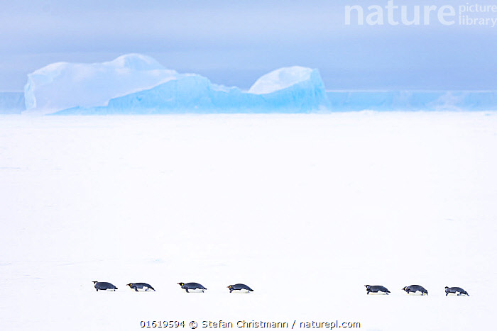 Emperor penguin (Aptenodytes forsteri) group sliding over sea ice, returning to form breeding colony. Iceberg in background. Atka Bay, Antarctica. April 2017.  ,  Animal,Wildlife,Vertebrate,Bird,Birds,Penguin,Emperor penguin,Animalia,Animal,Wildlife,Vertebrate,Aves,Bird,Birds,Sphenisciformes,Penguin,Seabird,Spheniscidae,Aptenodytes,Aptenodytes forsteri,Emperor penguin,Sliding,Return,Returns,Row,Group Of Animals,Group,Antarctica,Antarctic,Polar,Copy Space,Ice,Iceberg,Icebergs,Snow,Landscape,Winter,Negative space,In Line,Sea ice,Queen Maud Land,Atka Bay,Flightless,catalogue12  ,  Stefan Christmann