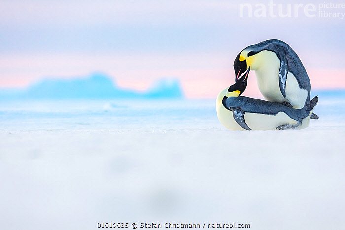 Emperor penguin (Aptenodytes forsteri) pair mating on sea ice. Atka Bay, Antarctica. May. Winner of the Portfolio category of the Wildlife Photographer of the Year Awards 2019.  ,  Animal,Wildlife,Vertebrate,Bird,Birds,Penguin,Emperor penguin,Animalia,Animal,Wildlife,Vertebrate,Aves,Bird,Birds,Sphenisciformes,Penguin,Seabird,Spheniscidae,Aptenodytes,Aptenodytes forsteri,Emperor penguin,Two,Antarctica,Antarctic,Polar,Copy Space,Ice,Winter,Animal Behaviour,Reproduction,Mating Behaviour,Copulation,Male female pair,Behaviour,Negative space,Sea ice,Behavioural,Queen Maud Land,Atka Bay,Flightless,,competition winners 2019,  ,  Stefan Christmann