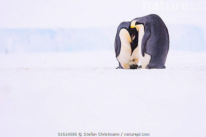 Emperor penguin (Aptenodytes forsteri) pair with recently laid egg, on sea ice. Atka Bay, Antarctica. May., Animal,Wildlife,Vertebrate,Bird,Birds,Penguin,Emperor penguin,Animalia,Animal,Wildlife,Vertebrate,Aves,Bird,Birds,Sphenisciformes,Penguin,Seabird,Spheniscidae,Aptenodytes,Aptenodytes forsteri,Emperor penguin,Two,Antarctica,Antarctic,Polar,Copy Space,Ice,Snow,Winter,Animal Behaviour,Reproduction,Brooding,Parental behaviour,Male female pair,Behaviour,Incubating,Parental,Egg laying,Lays,Negative space,Behavioural,Queen Maud Land,Atka Bay,Flightless, Stefan Christmann